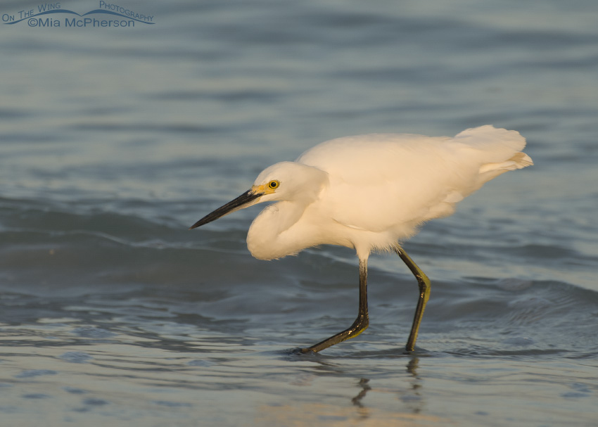 A Snowy Egret foraging for prey in the Gulf