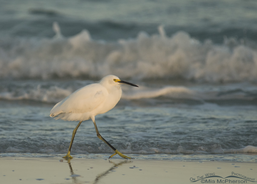 A Snowy Egret and rough surf