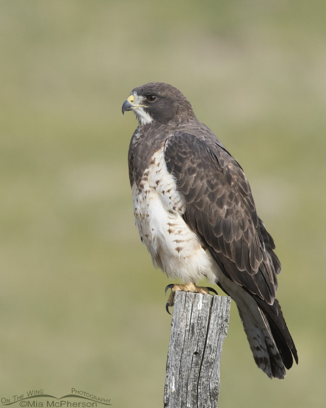 A female Swainson's Hawk in Beaverhead County