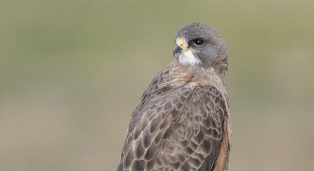 A male Swainson's Hawk in Beaverhead County