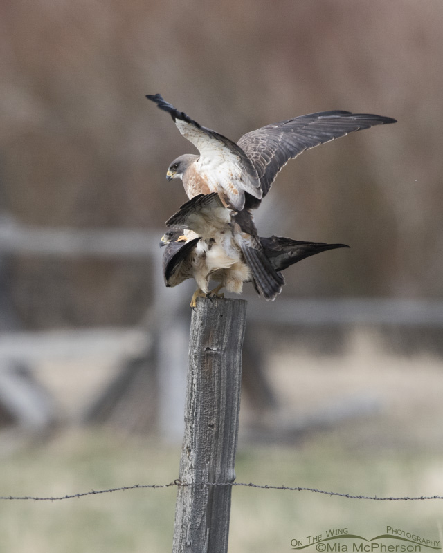 A copulating pair of Swainson's Hawks