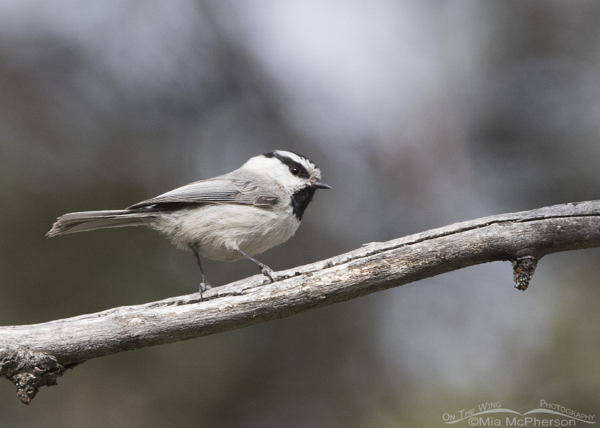 Mountain Chickadee in the Targhee National Forest