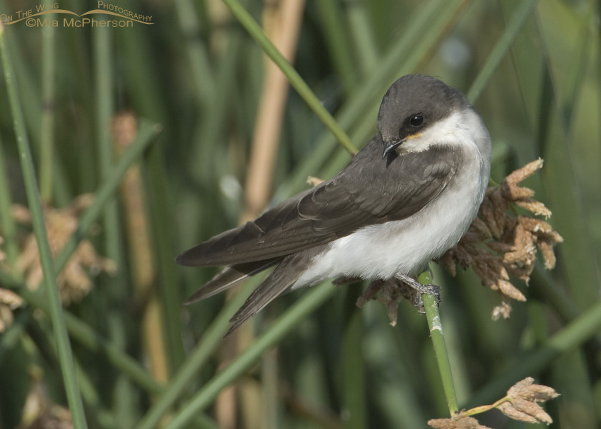 Female or young Tree Swallow