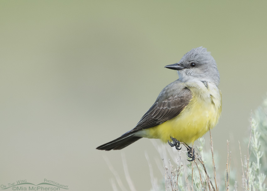 A Western Kingbird as the sky begins to lighten