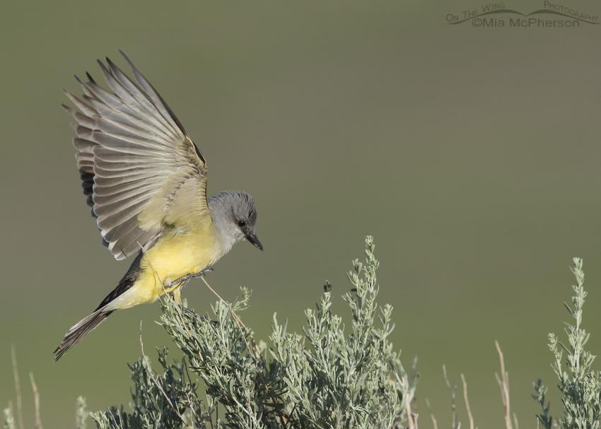 A Western Kingbird adult landing on sagebrush