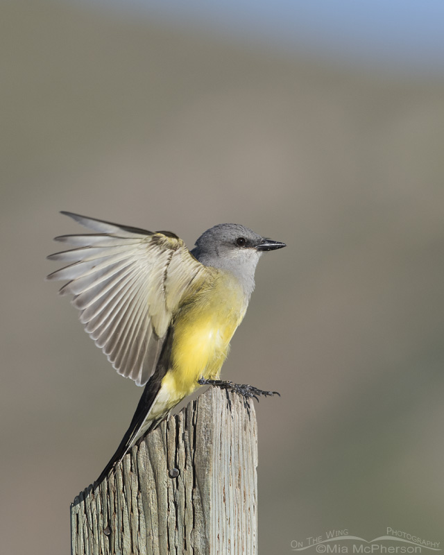 A Western Kingbird adult landing on a sign post