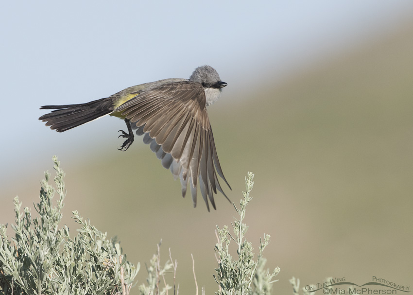 A Western Kingbird on the wing