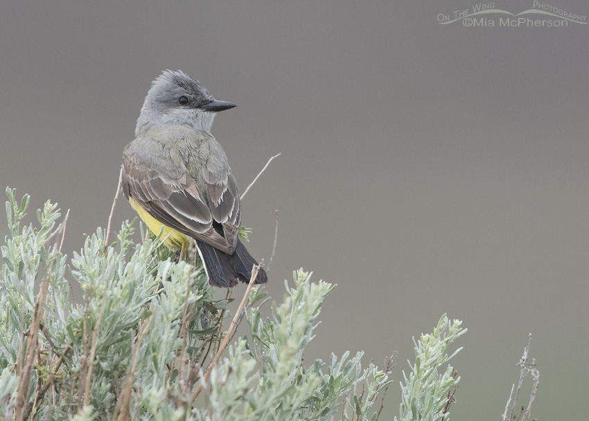 Western Kingbird under stormy skies