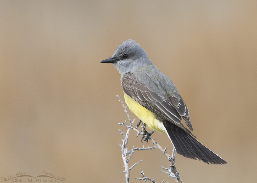 Western Kingbird on Antelope Island under gray skies