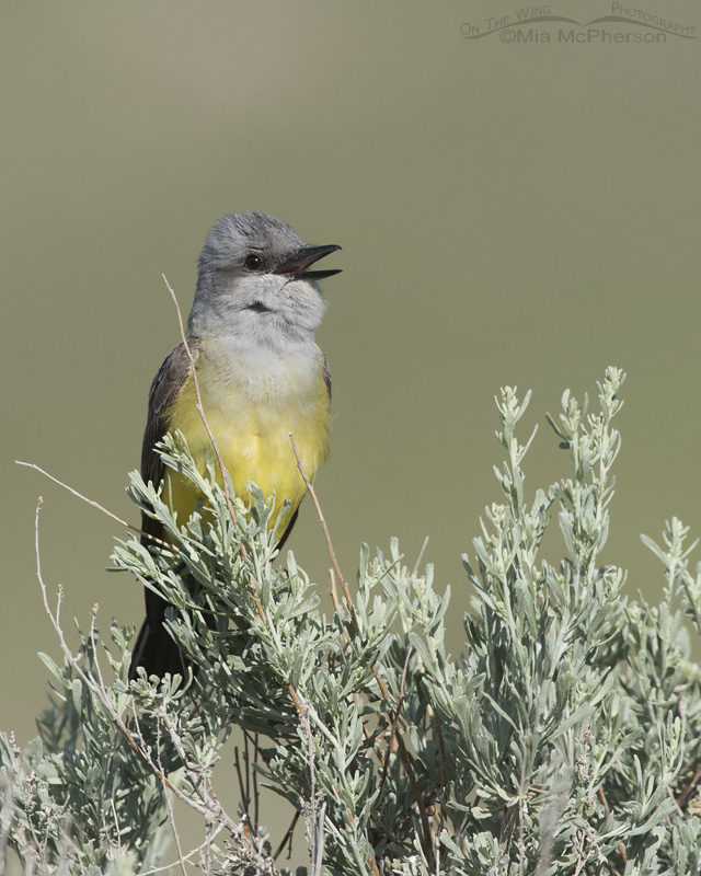 Singing Western Kingbird in good light