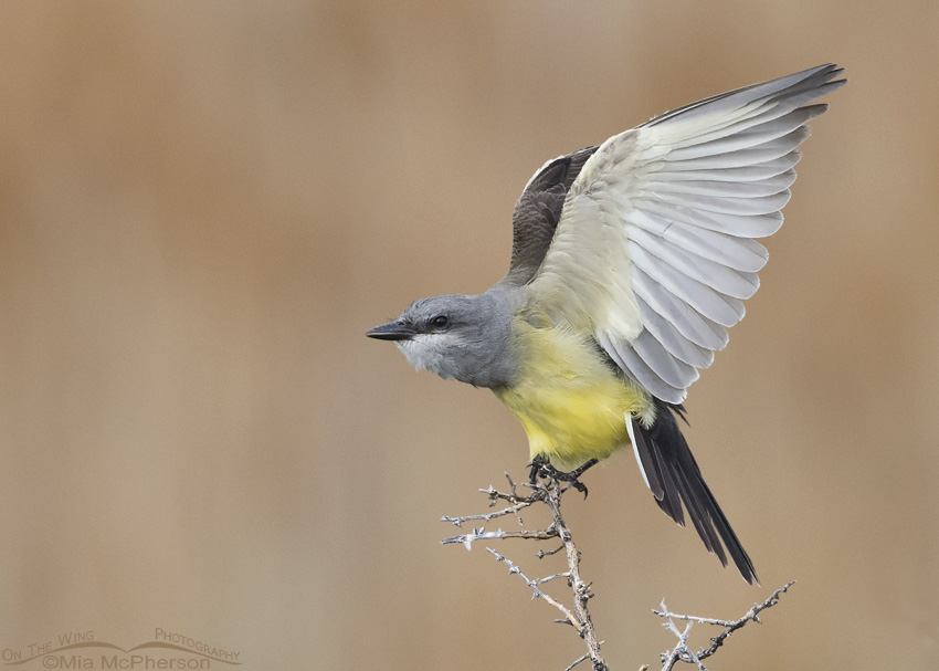 Western Kingbird wing lift in low light