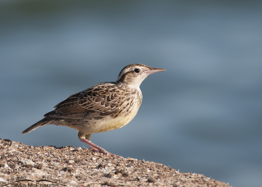 A juvenile Western Meadowlark on the shore of the Great Salt Lake