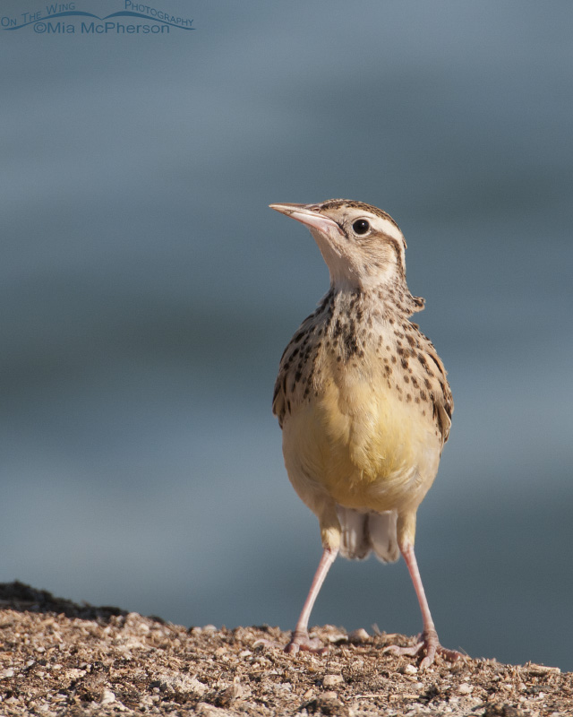 A juvenile Western Meadowlark and the Great Salt Lake