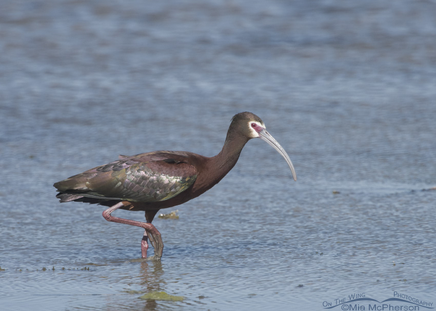 A White-faced Ibis in breeding plumage