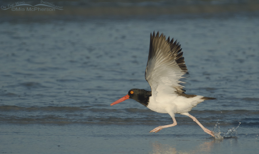 An American Oystercatcher running lift off