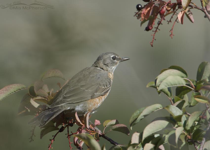 Robin feeding on Choke Cherries