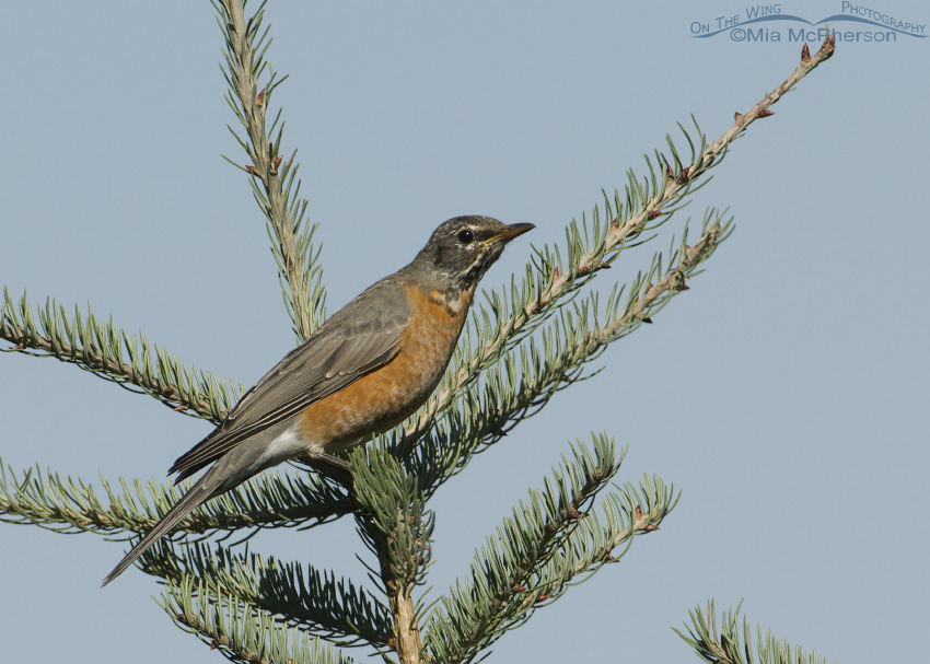 American Robin in a conifer