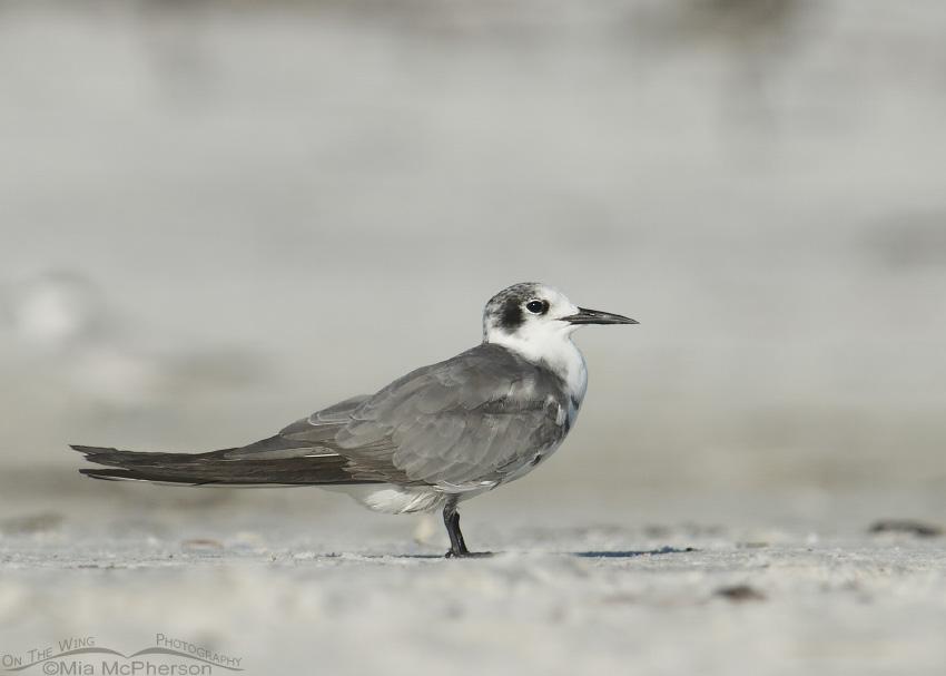 Resting Black Tern