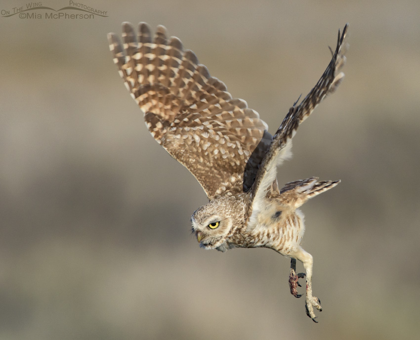 Adult Burrowing Owl in flight