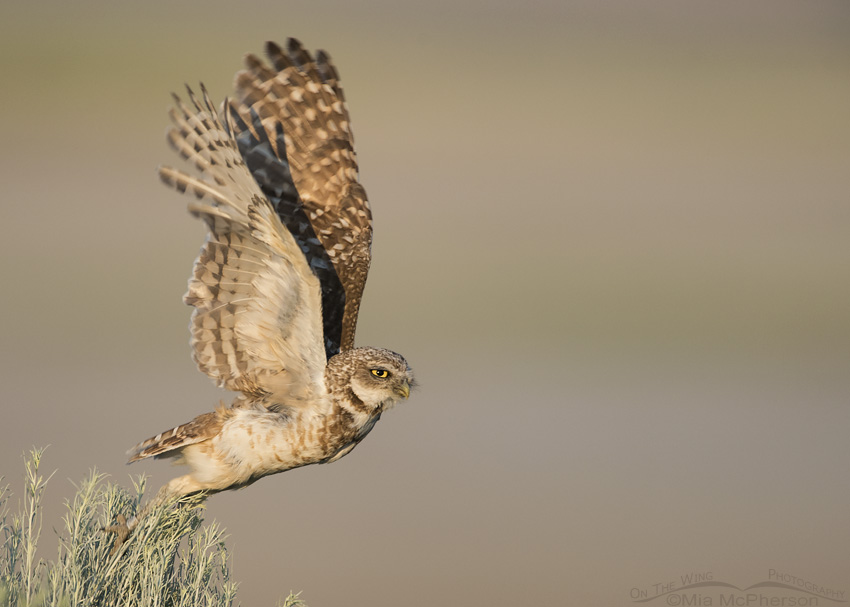 Adult Burrowing Owl lifting off from rabbitbrush