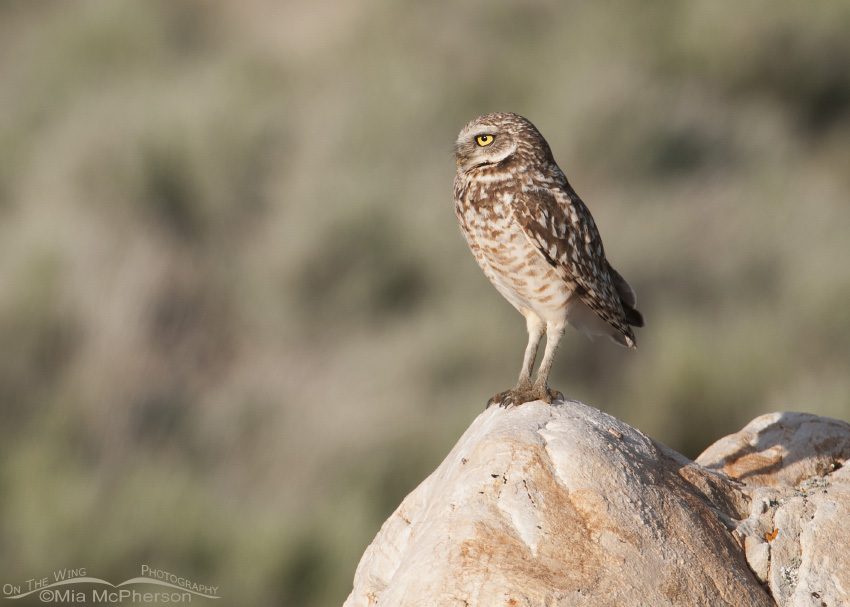Burrowing Owl adult on a Tintic Quartzite boulder