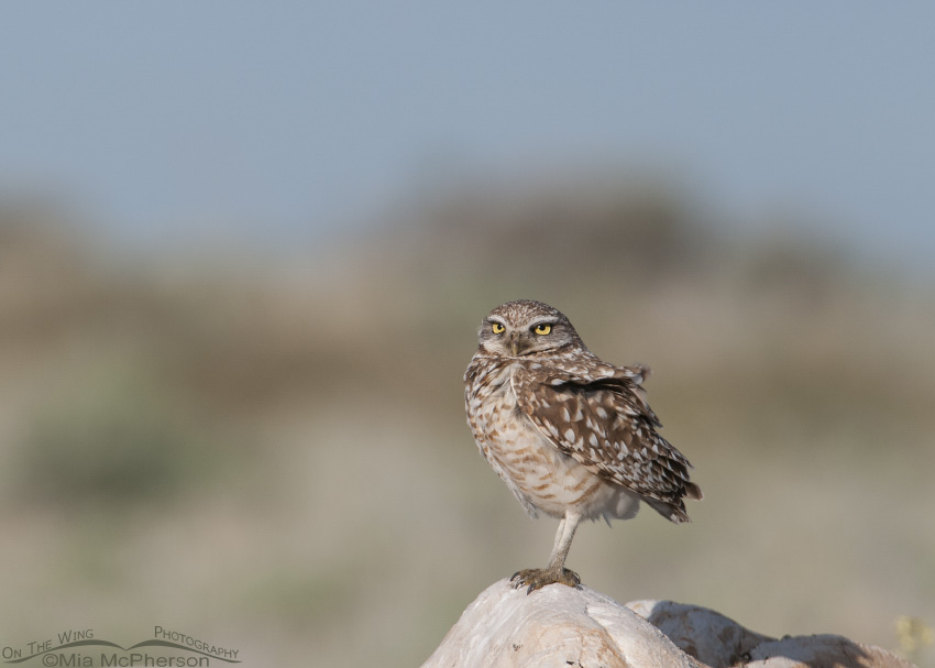 An adult Burrowing Owl on a May morning