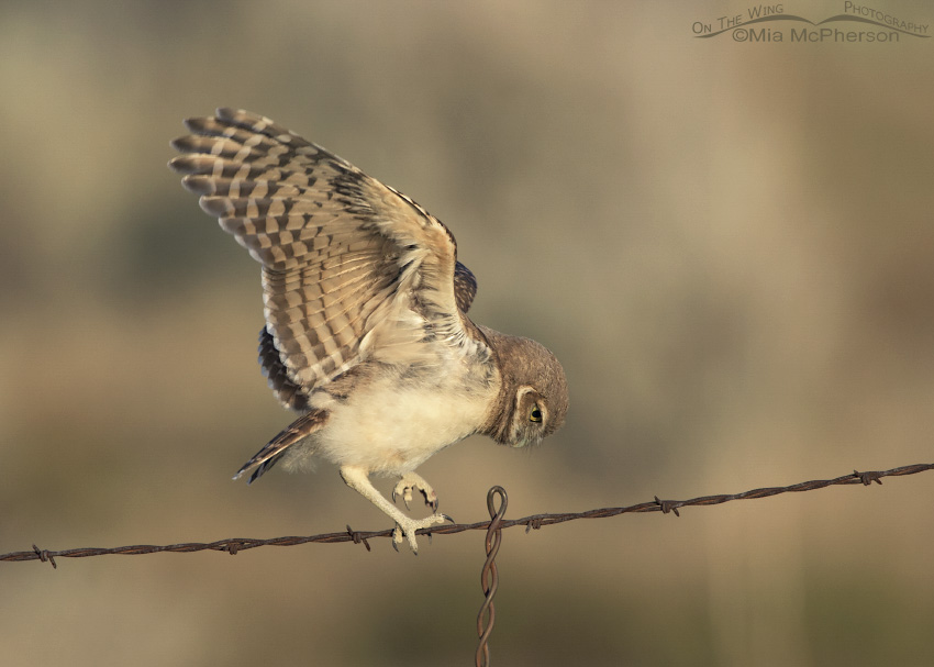 A juvenile Burrowing Owl on a barbed wire fence