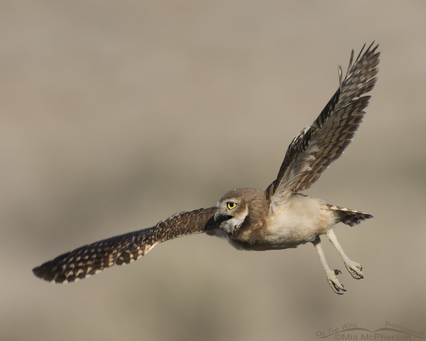 Juvenile Burrowing Owl calling while in flight
