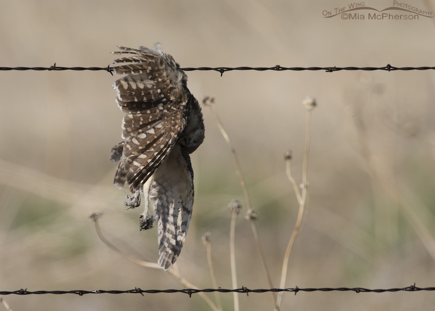 A dead juvenile Burrowing Owl hung up on barbed wire
