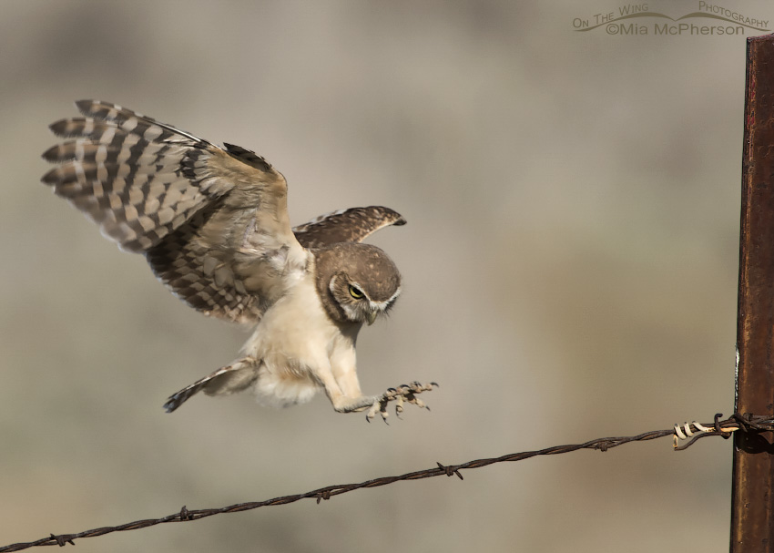 Juvenile Burrowing Owl about to land on a barbed wire fence