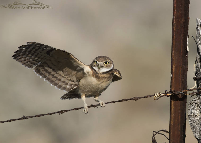 A juvenile Burrowing Owl immediately after landing