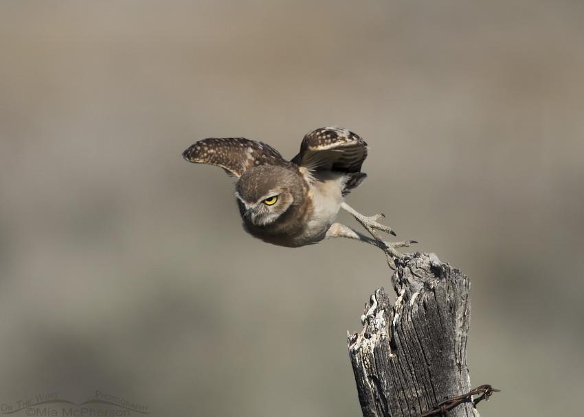 A juvenile Burrowing Owl diving towards the burrow