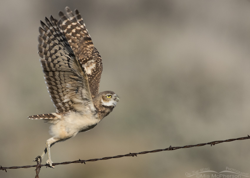 Juvenile Burrowing Owl lifting off from a barbed wire fence