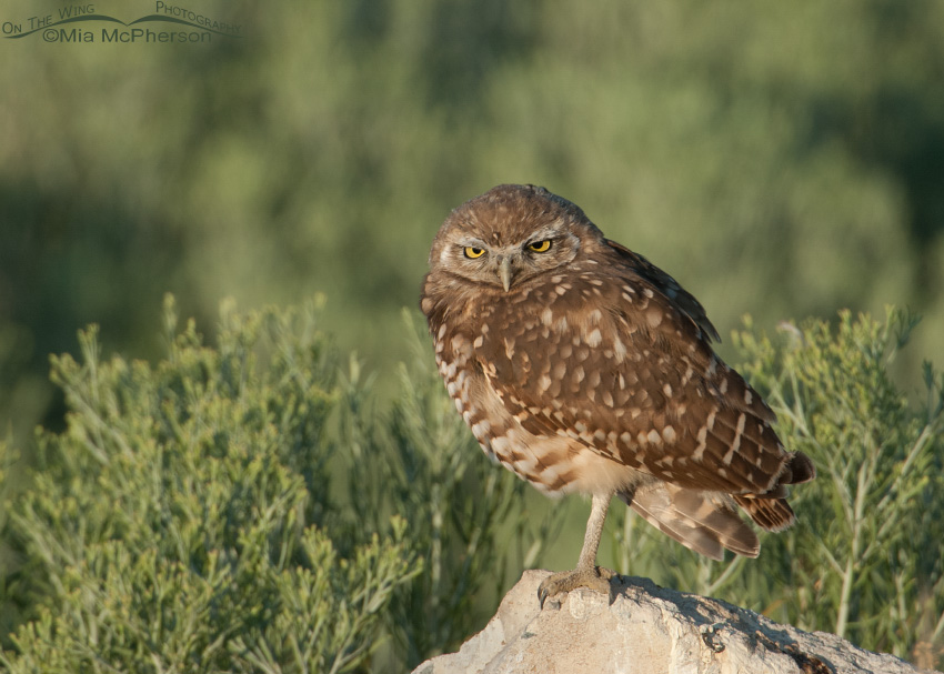 Young Burrowing Owl in morning light