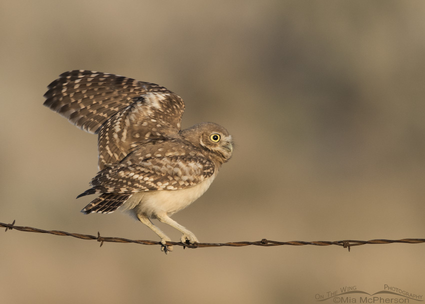 Juvenile Burrowing Owl balancing act