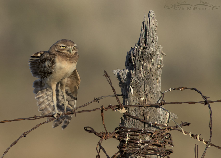 A Burrowing Owl juvenile stretching its wing on an old fence