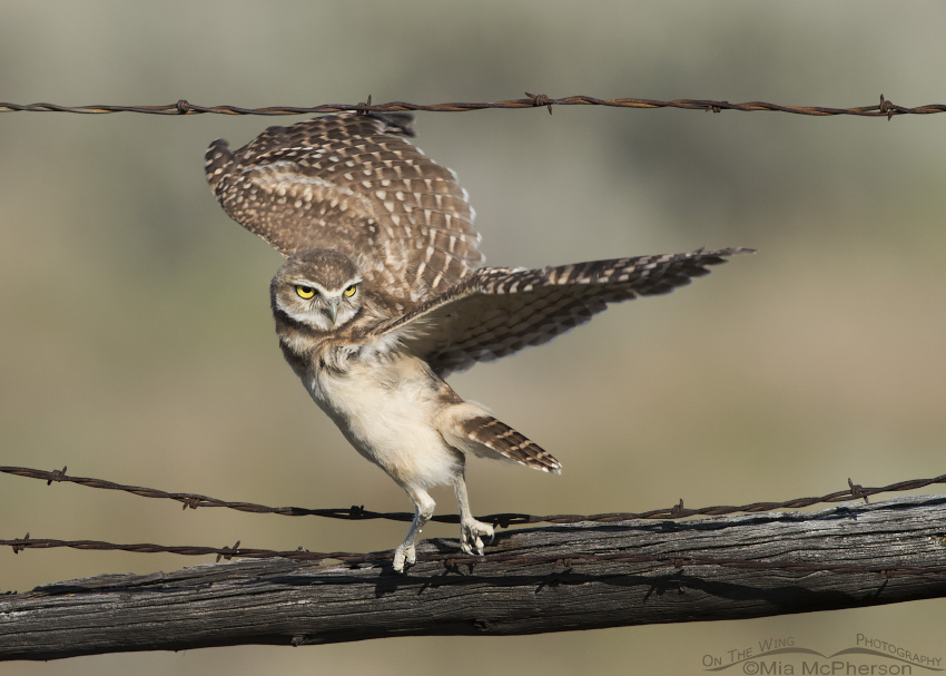 Juvenile Burrowing Owl ready to lift off
