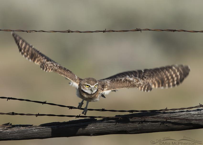 Burrowing Owl juvenile diving towards prey