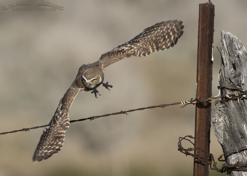 A juvenile Burrowing Owl flying towards the burrow