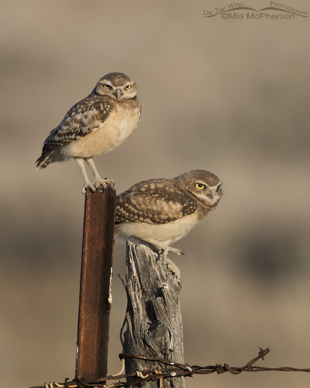 A pair of juvenile Burrowing Owls on an old fence