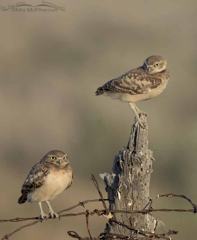 Juvenile Burrowing Owls in soft morning light