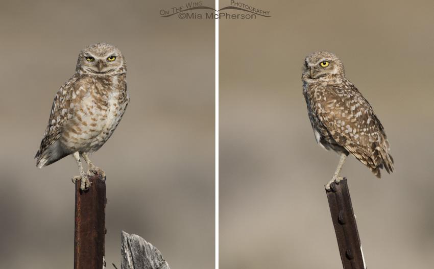 Male Burrowing Owl (L) - Female Burrowing Owl (R)