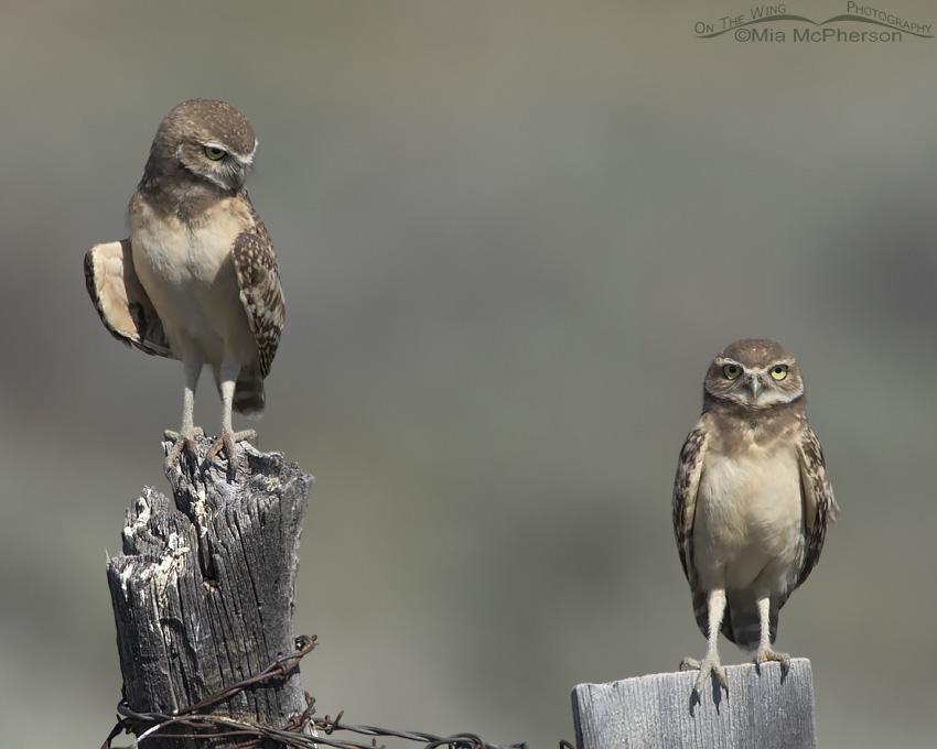 Sibling Burrowing Owls