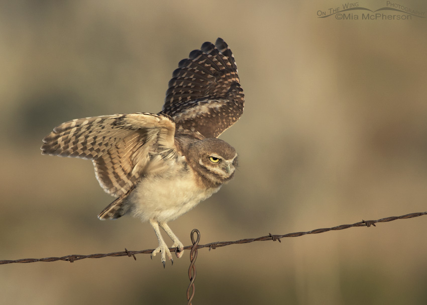 Burrowing Owl juvenile fluttering its wings