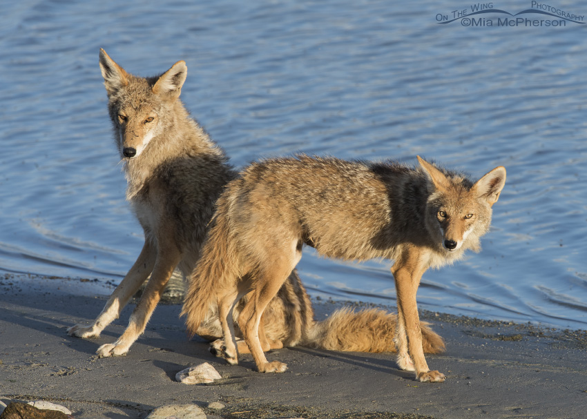 A pair of Coyotes on the shore of the Great Salt Lake