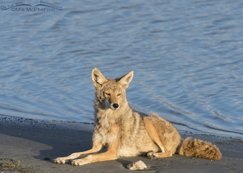 Coyote resting on the edge of the Great Salt Lake