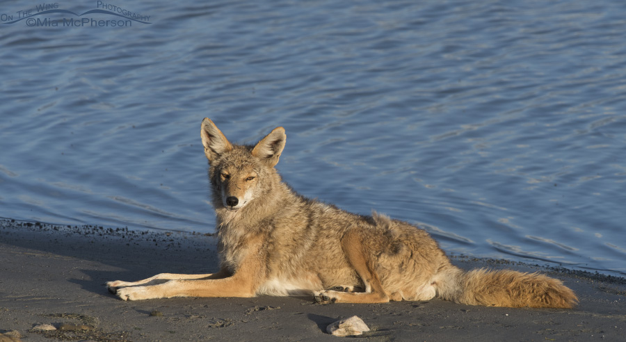 The Great Salt Lake and a resting Coyote