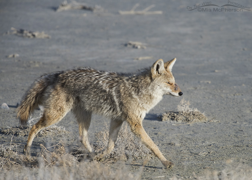 Injured Coyote - February 25, 2015