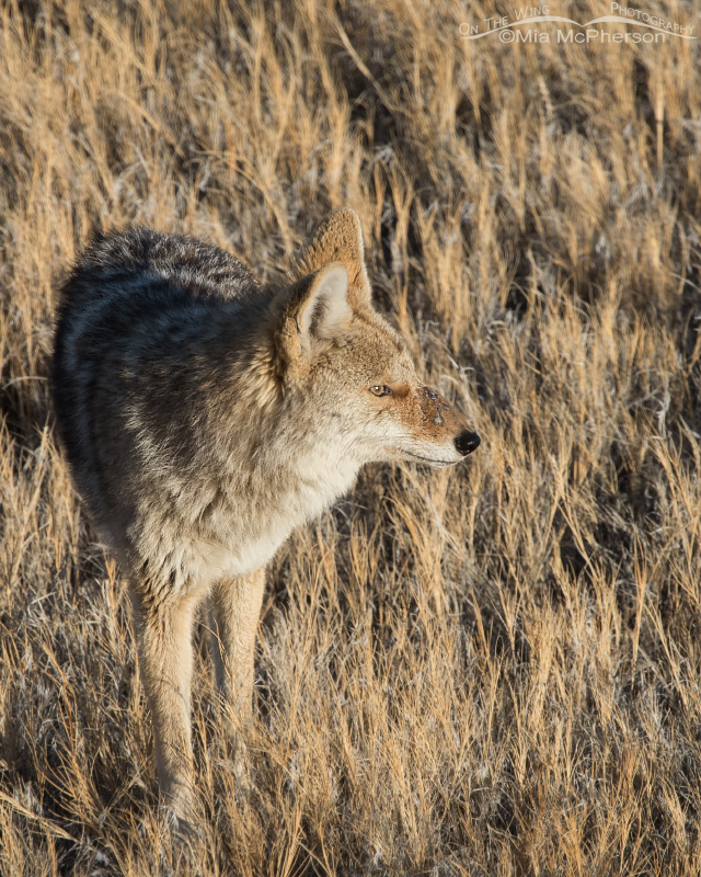 Injured Coyote - March 6, 2015