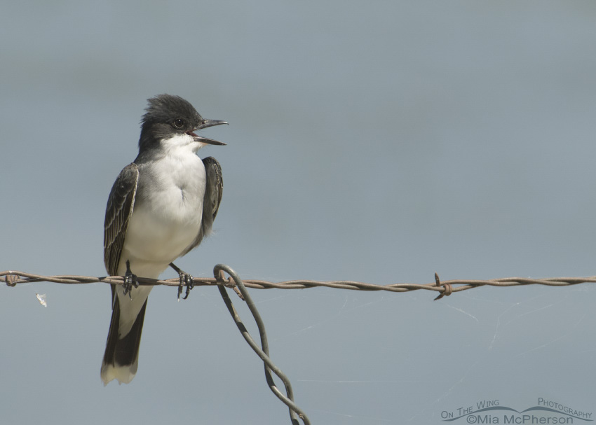 Eastern Kingbird Images